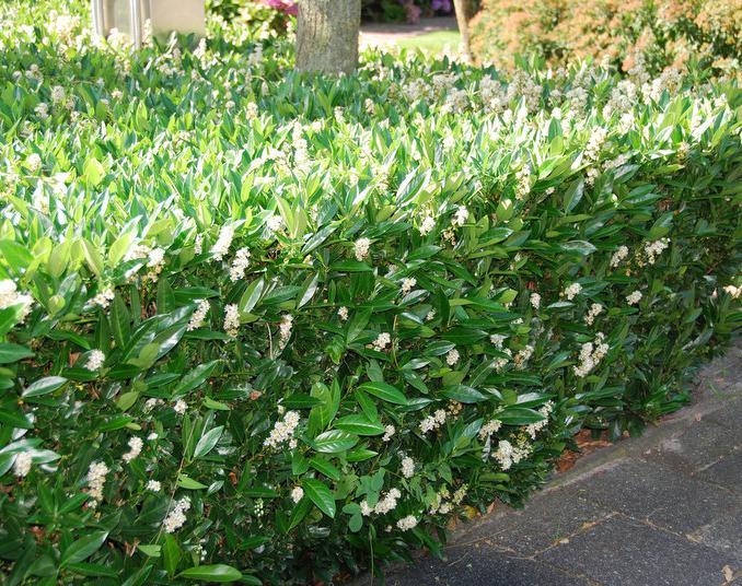 kirsebærlaurbær caucasica