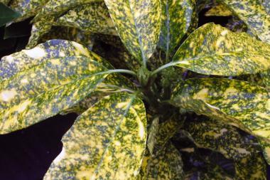 Have-aucuba 'Crotonifolia'