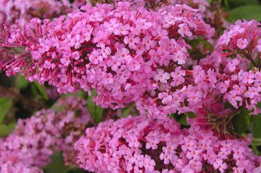 Sommerfuglebusk 'Pink Delight'