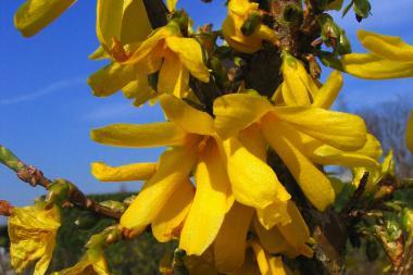 Have-forsythia 'Spectabilis'