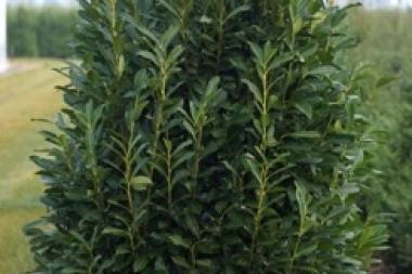Laurbærkirsebær  'Elly'®