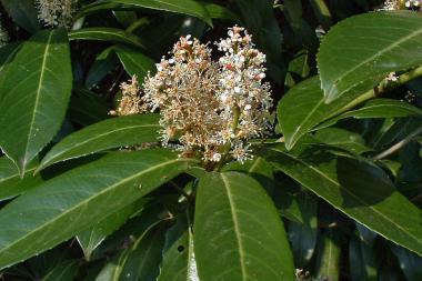 Laurbærkirsebær 'Caucasica'