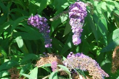 Sommerfuglebusk 'Lochinch'