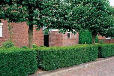 Storbladet liguster