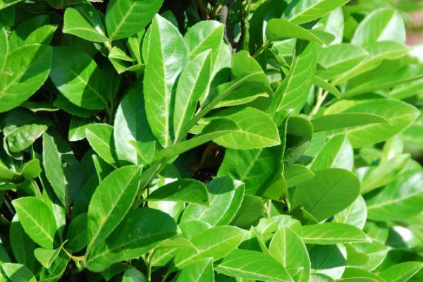 Laurbærkirsebær 'Rotundifolia'