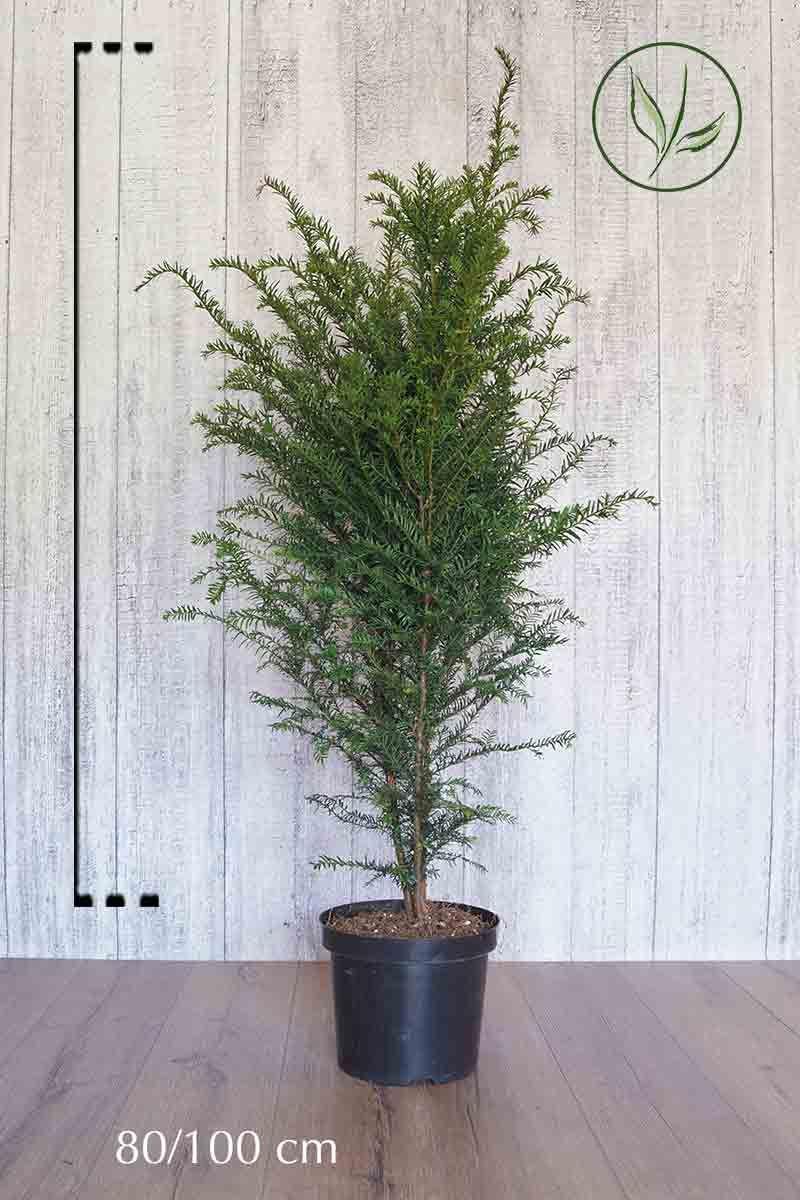 Almindelig taks Potte 80-100 cm