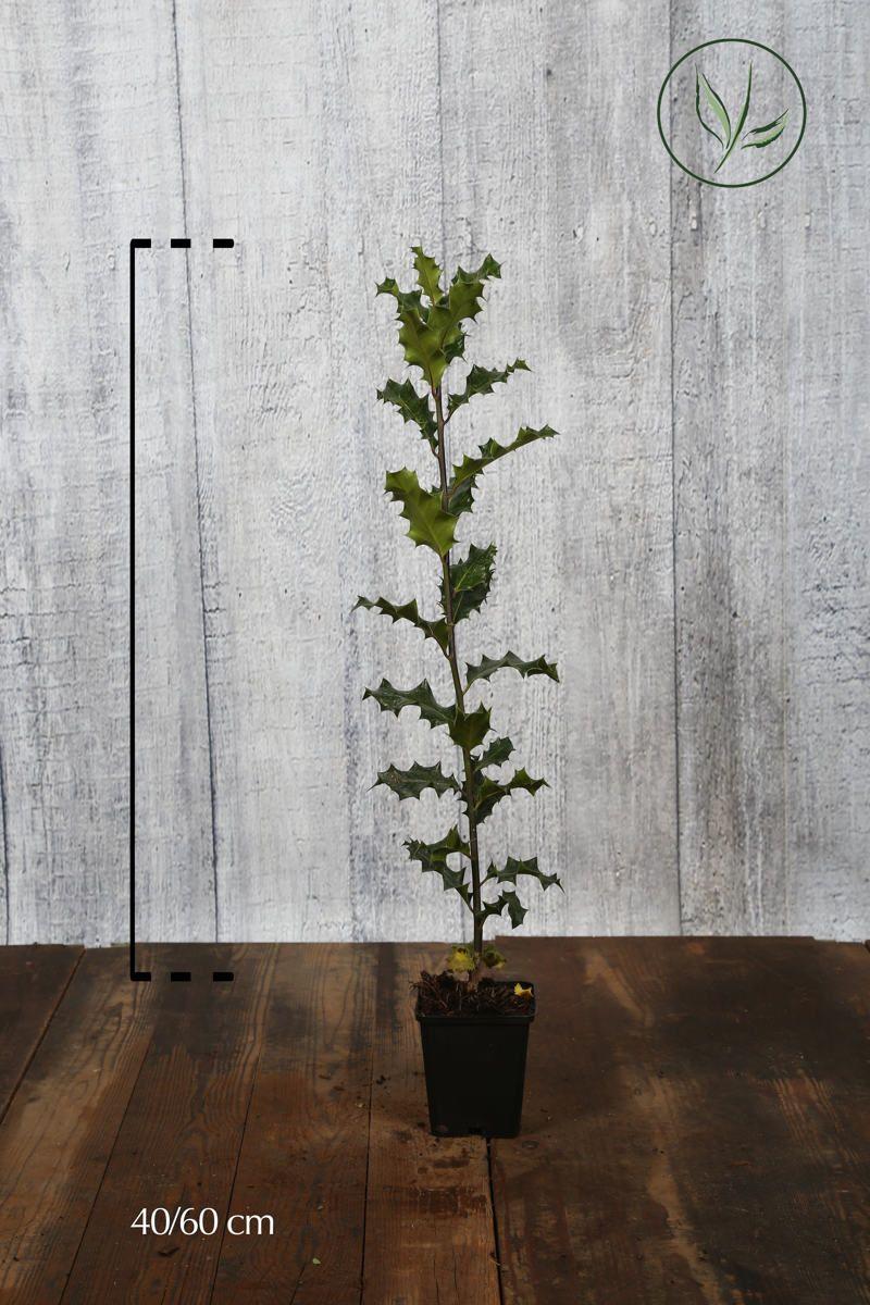 Almindelig kristtorn Potte 40-60 cm