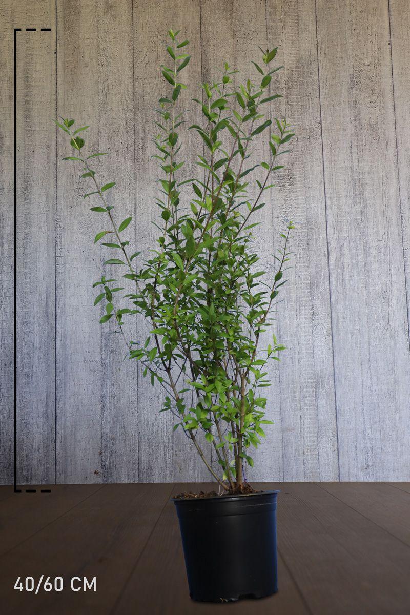 Almindelig liguster Potte 40-60 cm