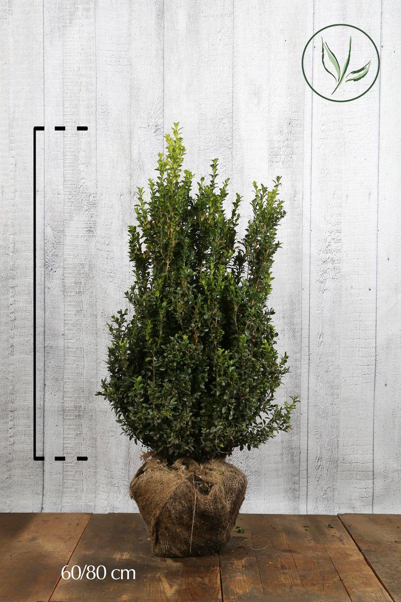 Buksbom - busk Klump 60-80 cm