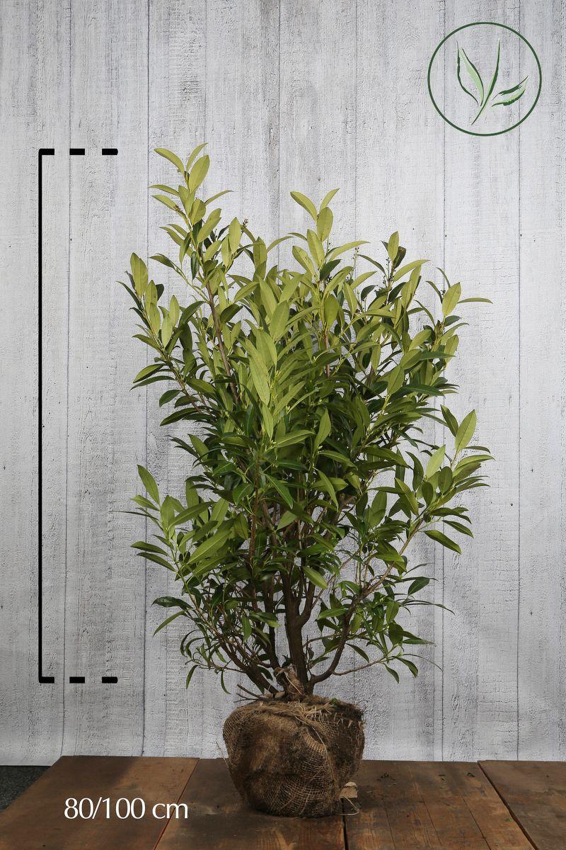 Laurbærkirsebær 'Herbergii' Klump 80-100 cm Ekstra kvalitet