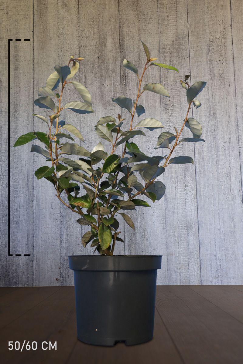 Sølvblad Potte 50-60 cm