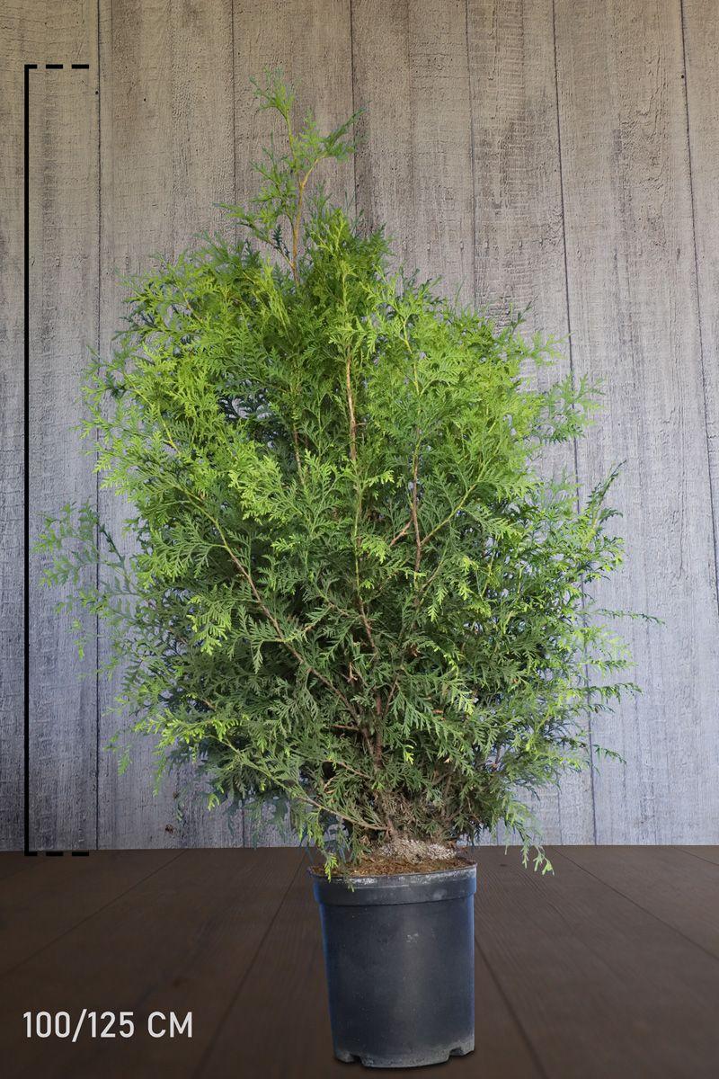 Thuja 'Brabant' Potte 100-125 cm Ekstra kvalitet