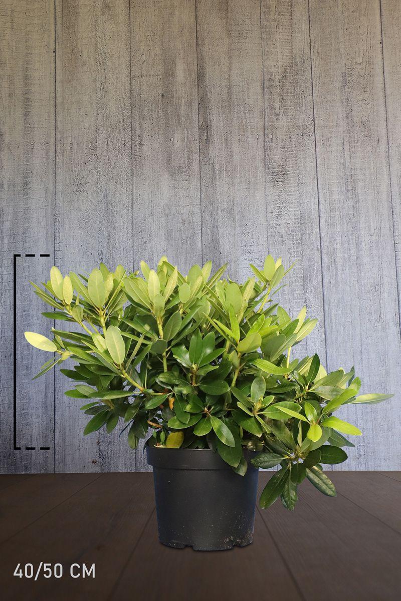 Rhododendron 'Catawbiense Grandiflorum' Potte 40-50 cm Ekstra kvalitet