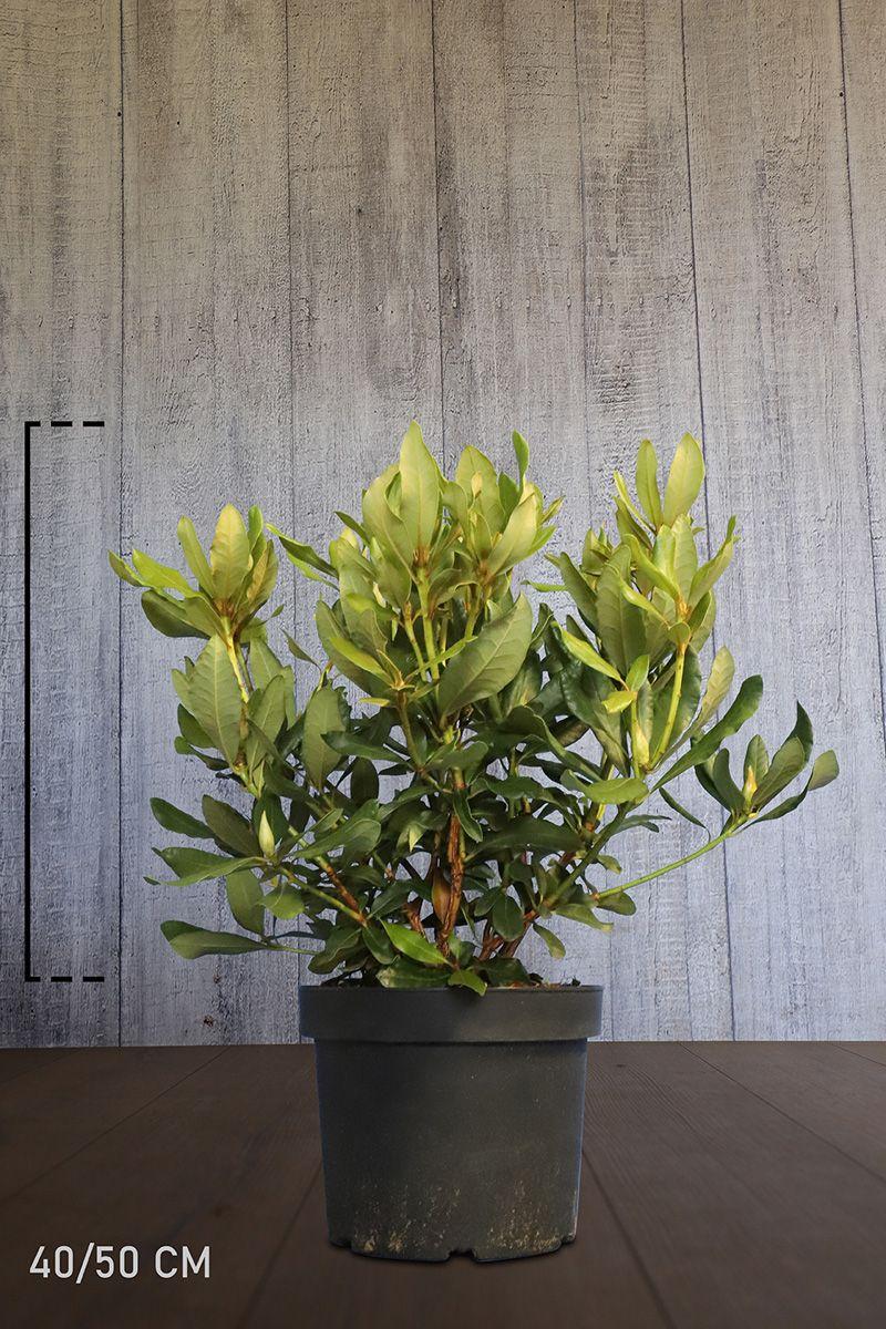 Rhododendron 'Nova Zembla' Potte 40-50 cm Ekstra kvalitet