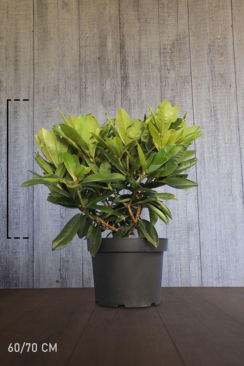 Rhododendron 'Gomer Waterer' Potte 60-70 cm Ekstra kvalitet