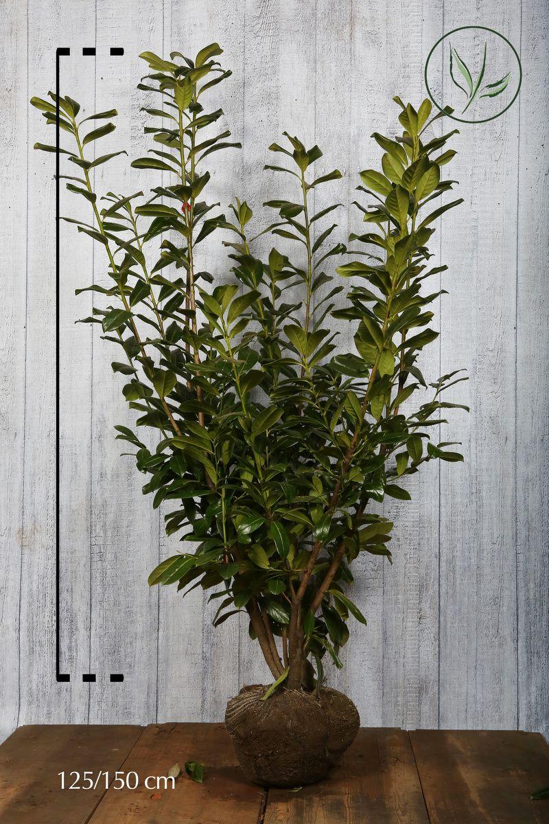 Laurbærkirsebær 'Novita' Klump 125-150 cm Ekstra kvalitet