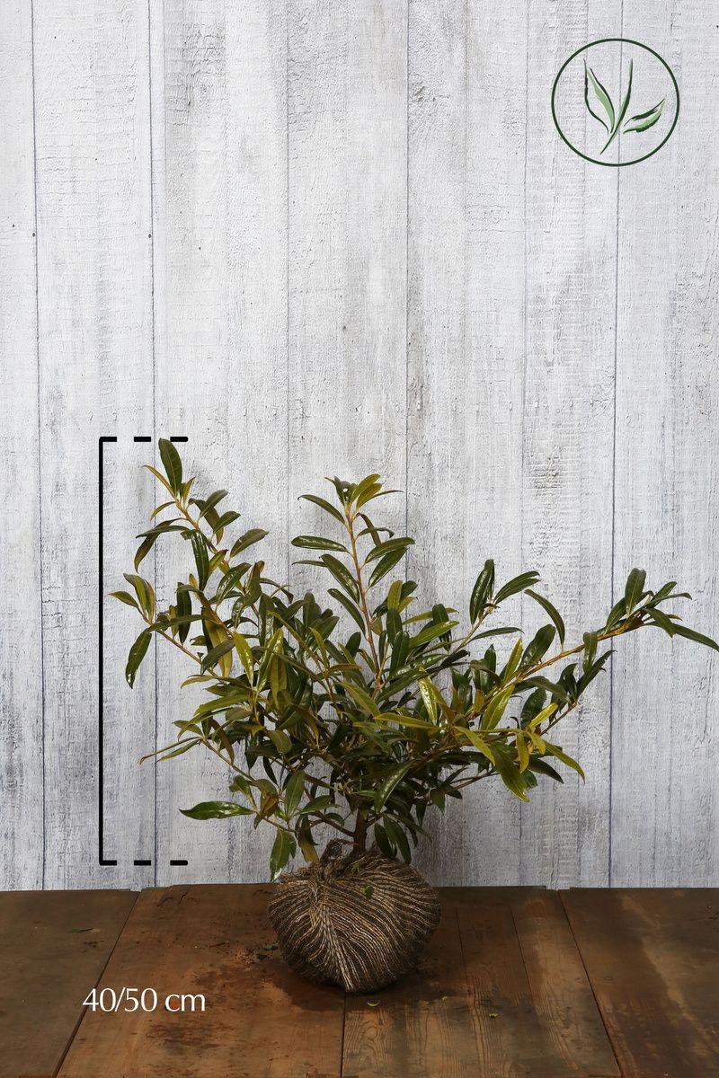 Laurbærkirsebær 'Zabeliana' Klump 40-50 cm