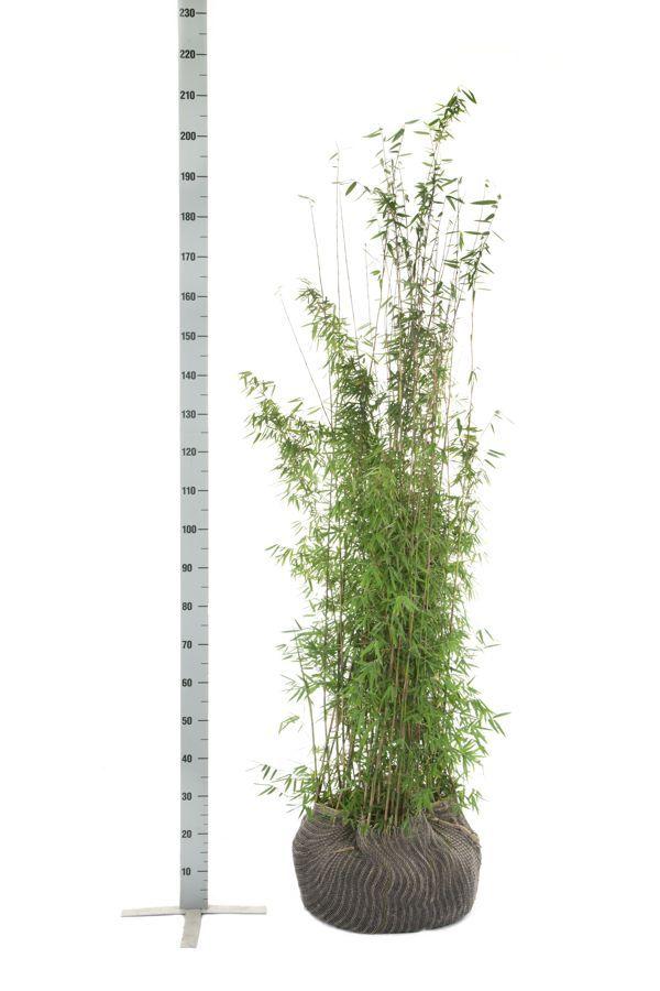 Fargesia jiuzhaigou Klump 150-175 cm