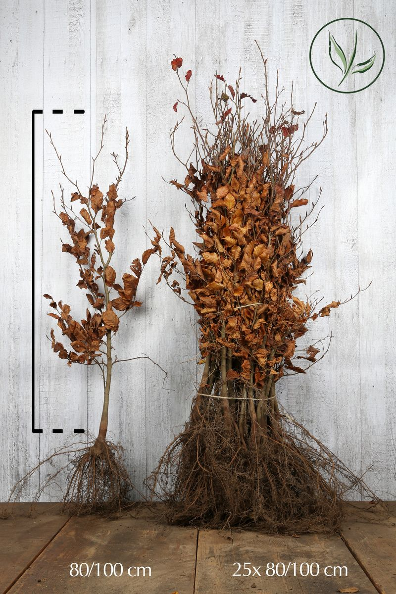 Rød bøg Barrods 80-100 cm Ekstra kvalitet