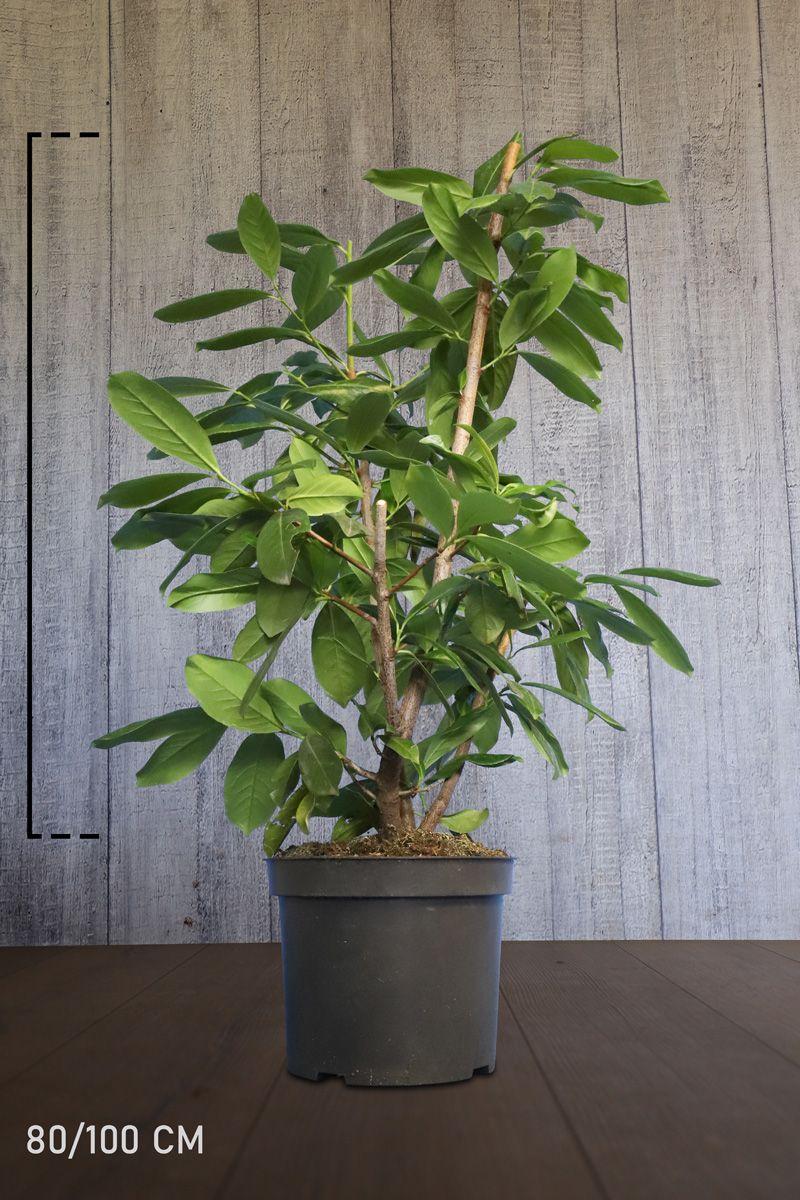 Laurbærkirsebær 'Novita' Potte 80-100 cm