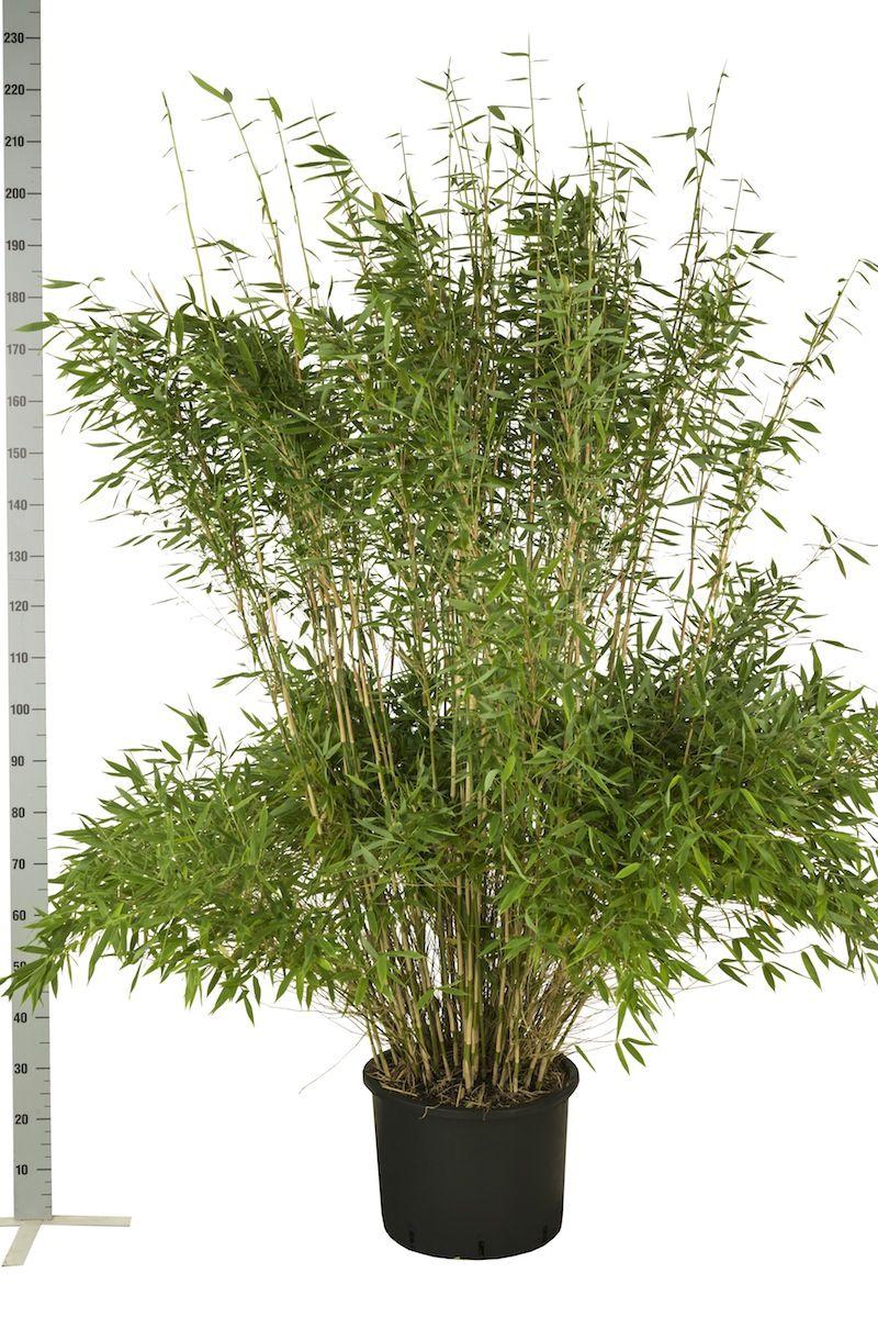 Fargesia 'Jumbo' Potte 175-200 cm