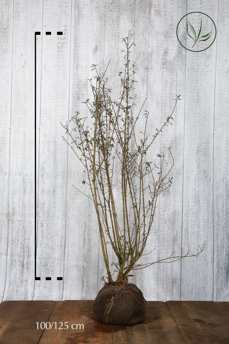 Stedsegrøn liguster 'Atrovirens' Klump 100-125 cm