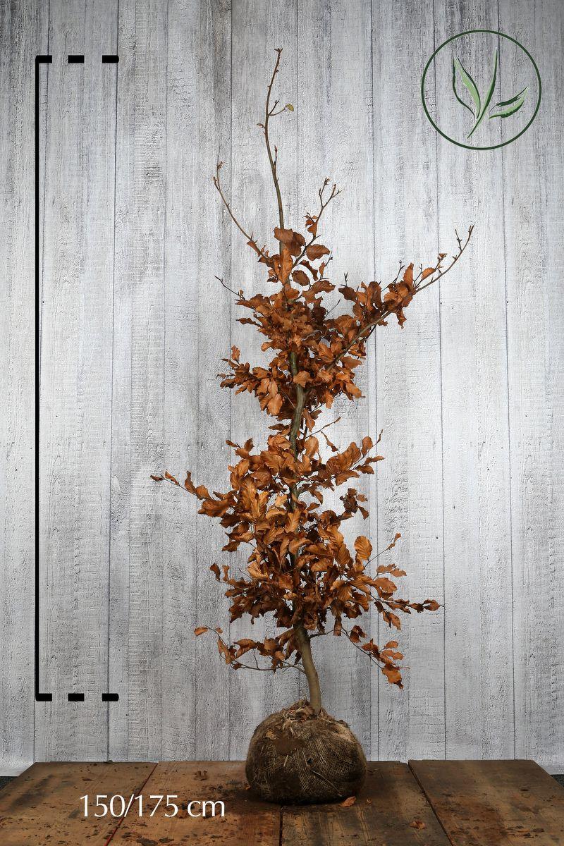 Almindelig bøg Klump 150-175 cm Ekstra kvalitet