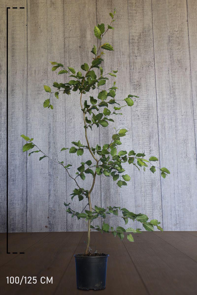 Avnbøg Potte 100-125 cm