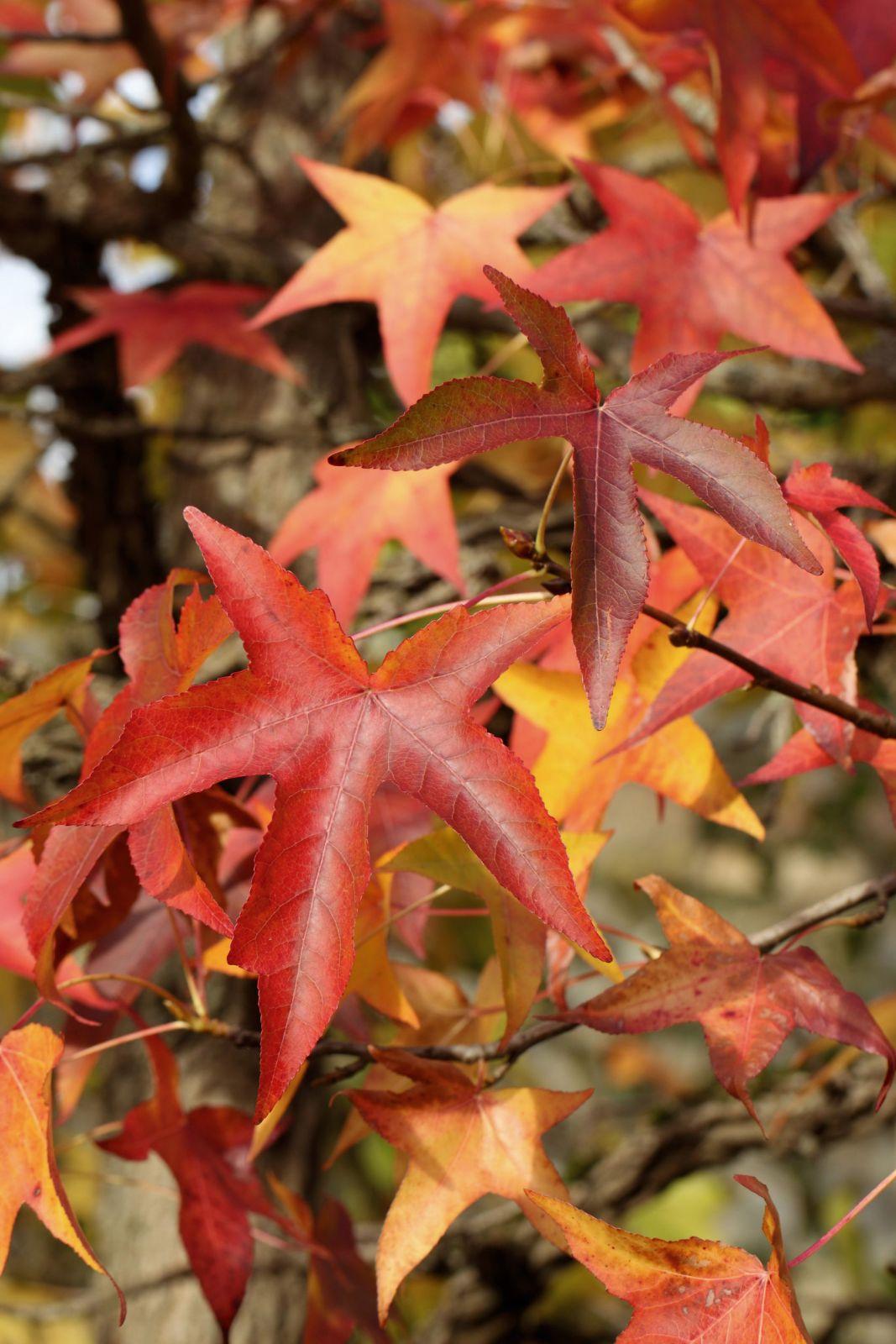Ambratræ 'Worplesdon'