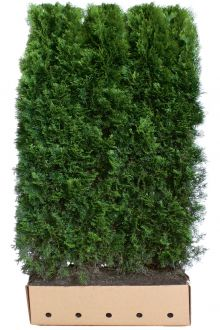 Thuja 'Smaragd' Færdighække 180-200 cm Færdig hæk