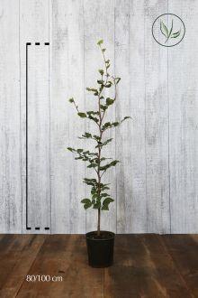 Almindelig bøg Potte 80-100 cm