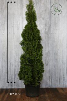 Thuja 'Smaragd' Potte 180-200 cm Ekstra kvalitet