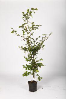 Almindelig bøg Potte 100-125 cm