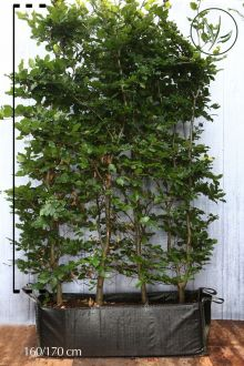 Almindelig bøg Færdighække 150-175 cm Færdig hæk