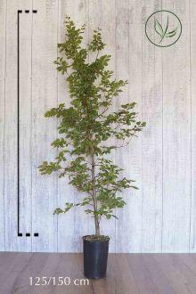 Almindelig bøg Potte 125-150 cm Ekstra kvalitet