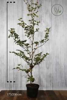 Almindelig bøg Potte 175-200 cm Ekstra kvalitet