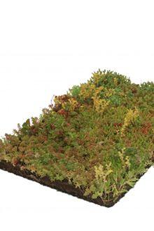 Stenurt - plantemåtter