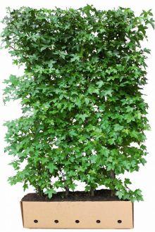 Ambratræet Færdighække 200 cm Ekstra kvalitet
