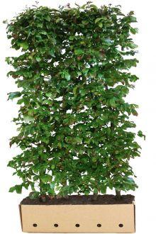 Papegøjetræ  Færdighække 200 cm Ekstra kvalitet