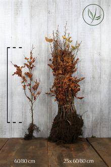 Almindelig bøg Barrods 60-80 cm