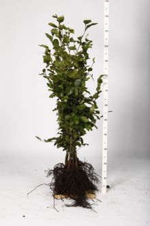 Almindelig bøg Barrods 80-100 cm