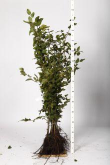 Almindelig bøg Barrods 100-125 cm