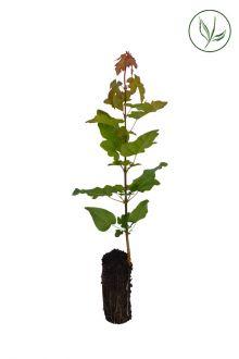 Navr Celledyrkede planter 20-40 cm Ekstra kvalitet