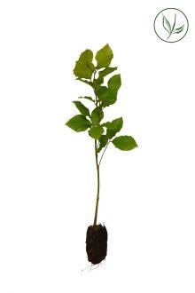 Almindelig bøg Celledyrkede planter 30-50 cm Ekstra kvalitet