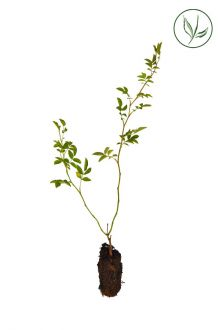 Hunderose Celledyrkede planter 15-30 cm Ekstra kvalitet