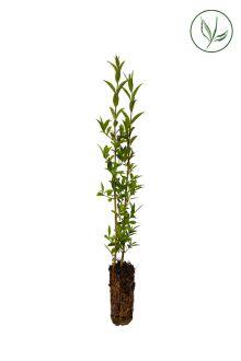 Almindelig liguster Celledyrkede planter 15-30 cm Ekstra kvalitet