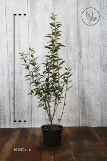 Almindelig liguster Potte 60-80 cm
