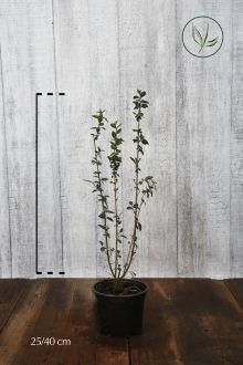 Stedsegrøn liguster 'Atrovirens' Potte 20-40 cm
