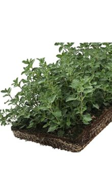 Katteurt - plantemåtter