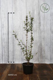 Stedsegrøn liguster 'Atrovirens' Potte 40-60 cm